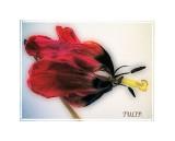 orton tulip