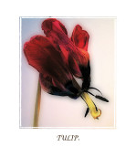 tulip orton effect