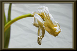 white tulip on texture