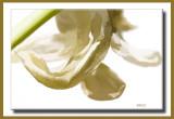 buzz tulip.jpg