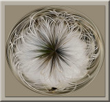 dandelion circle.jpg