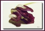 tulip buzz.jpg