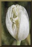 textured white tulip