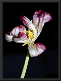 posing tulip