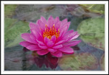 Walters water lily with fantasy background