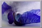 Iris in ice