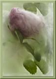 rosebud iced