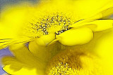 daisies in yellow