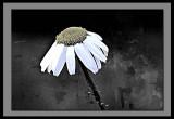 drooping daisy