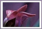 silky faded tulip