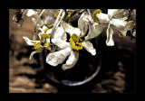 dried daffodils...