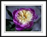 paeonia lactiflora bowl of beauty...