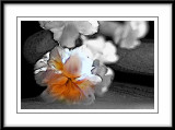 white carnations...