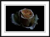 glamorous rose....