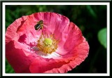 coming into land on the pink poppy....