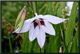 asian lily with  topaz filters....