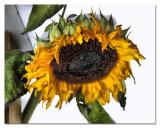 this sunflower found shelter under the porch...