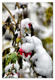 even the roses didnt esape the snow...