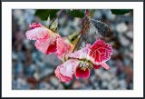 frosty roses...