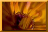 marigold....