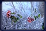 frosty roses....