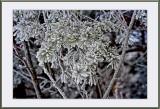 hoar frost...