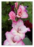 garden gladioli...