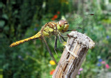 smiling-dragon-fly