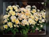 9-chrysanths.jpg