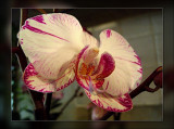 34-orchid-with-pink.jpg