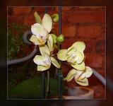44-orchids-lemon.jpg