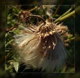 seedhead in sun