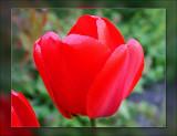 tulip vivid red