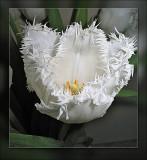 tulip yellow centre