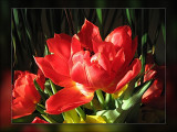 tulip red double