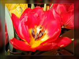 tulip double red