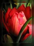 tulip closed