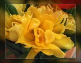tulip fully open