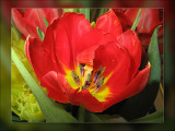 tulip nice pose