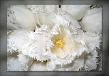 tulip upclose frillies