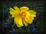 tulip yellow double