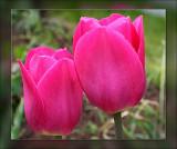 tulip together