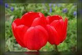 tulip bright red
