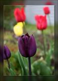 tulip purple in front