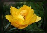 tulip like this one