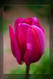 tulip pretty pink