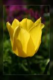 tulip sunlit