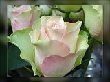 continental rose
