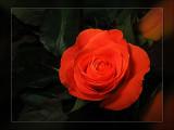 vibrant red rose