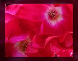 upclose climbing rose